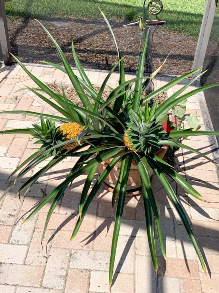 Pineapples growing on a plant in a pot