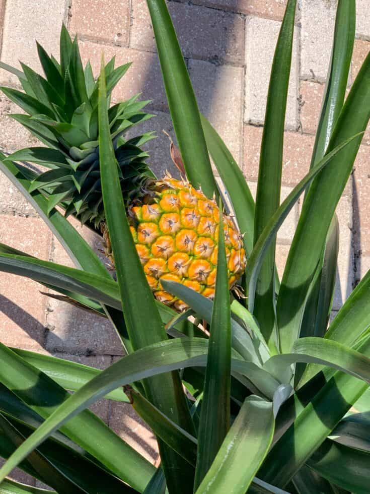 Pineapple growing on a plant