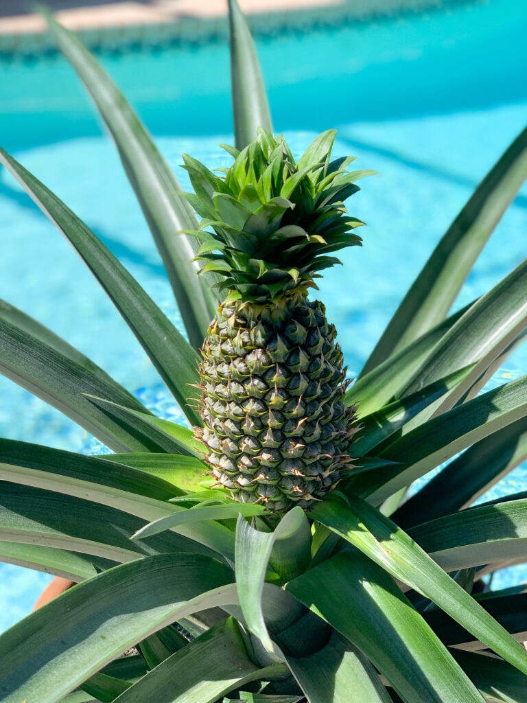 Unripe pineapple on the plant with large green leaves