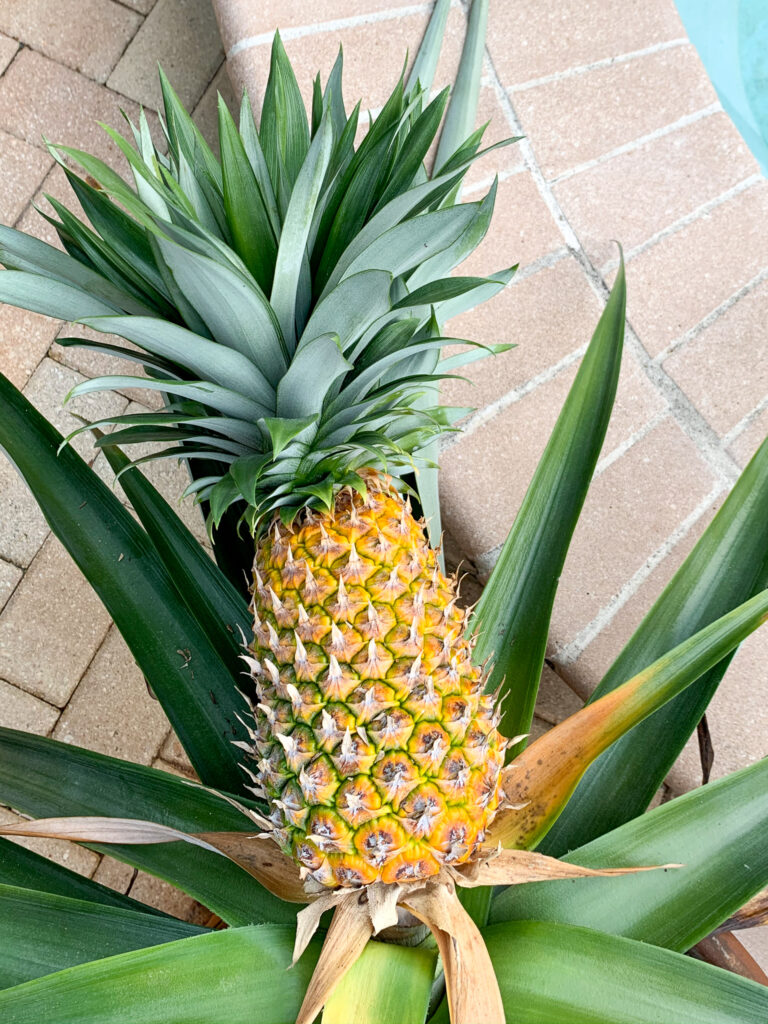 Ripe pineapple on the plant